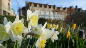 Daffodils on South Lawn