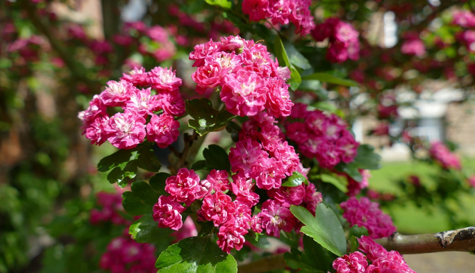 Pink Hawthorn Tree