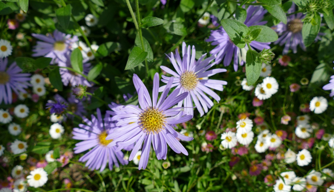 Asters (Michaelmas Daisies) in the Suffragette Border at St Hilda's College