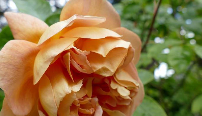 Rose Garden in bloom at St Hilda's College